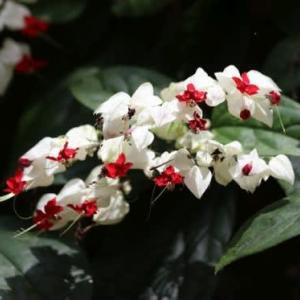 ゲンペイクサギ、シクンシ、他温室で見た花 NO2