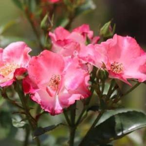 植物園の色々なバラの花