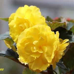 リュウジンボクテッカ、キンシャチ、他温室で見た花 NO4