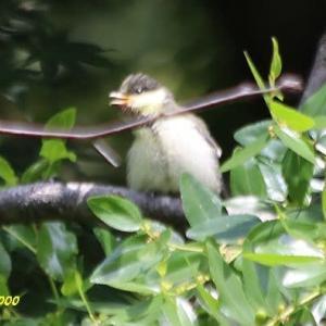 シジュウガラの若鳥、ツバメ、他