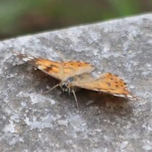 ヒメアカタテハ、チャバネセセリ、他蝶