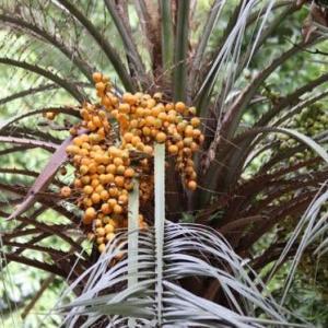 ホサギノフサモ、ブラジルヤシ、他植物