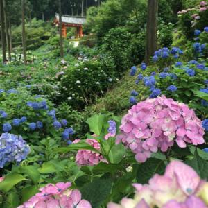三室戸寺のあじさい園