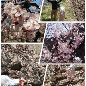 桜咲いた…が。