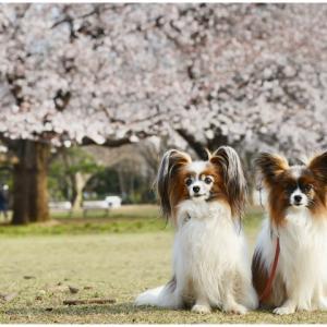 マリモナカのオビレッスンと公園の桜