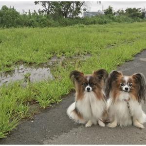 雨続きで散歩も思うようにいかず…( ̄▽ ̄;)