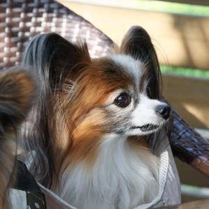 犬の咳は心臓・肺が原因のことが多いらしい…忘備録として