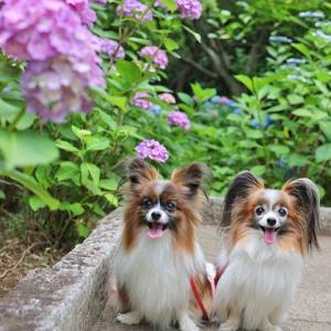 区内の紫陽花の公園へ行ってきました