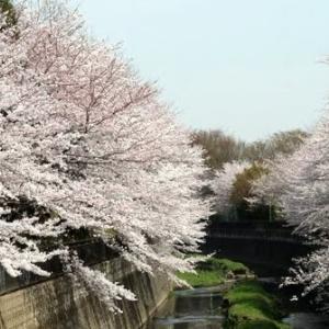 桜とともに逝く・・・・・子猫通信