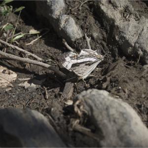 ●● 確実に繁殖しているイシガケチョウ ●●