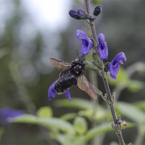 ●● メスだらけ、タイワンタケクマバチ ●●