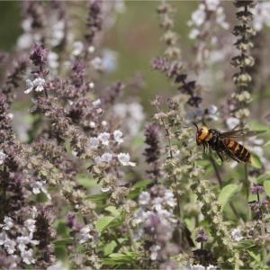 ●● オオスズメバチの狩り ●●