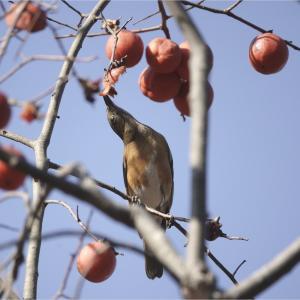 ●● 熟柿さまさま ●●