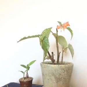 木立ベゴニアの成長記録、今日の庭、刺繍の記録(出品日時のお知らせ)