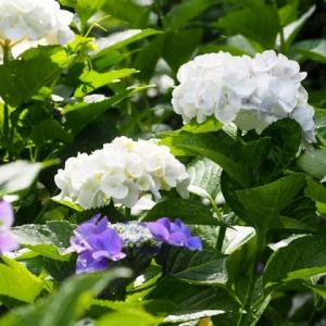 紫陽花そして軽鴨一家