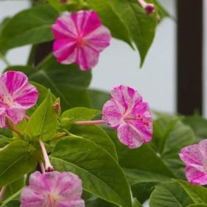 おしろいの花
