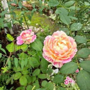 終いの薔薇