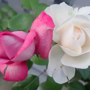 バラが開花 美味しいニラ収穫 ほうれん草の種蒔き キャベツのネット外し