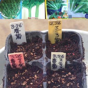 「春菊」3品種種蒔き! 「ソロモン」ほうれん草種蒔き!胡蝶蘭の2番花開花