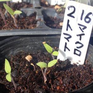 マイクロトマトの発芽 ヨドバシカメラの野菜の種お買い得です