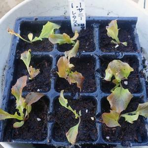 元旦蒔きレタスとネギの植え替え パセリが元気 五月菜植え替え