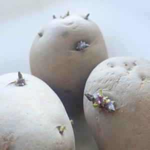「シンシア」のタネ芋!  ワイルドルッコラ 蒔き直し「トレビス」発芽!