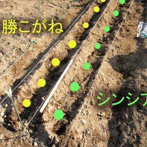 ジャガイモの植え込み!「あじさいねぎ」の植え替え 「LEEK」の植え替え