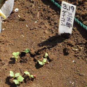 三太郎大根発芽 ニンジンの発芽 夏一心ネギの仮植え サラダボール定植 チャービルの様子