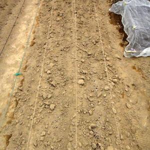 ジャガイモ発芽の兆し無し!玉ネギとレタスとほうれん草の様子!