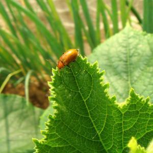 ついに来たウリハムシ! 雄穂が出る! 大玉トマト「強力米寿」