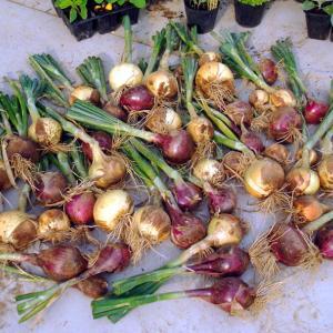 玉ネギの全収穫 スナップエンドウの収穫 コモンクレスの自家採種