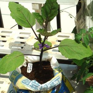 中長茄子の袋栽培 サトイモ つるありインゲン初収穫 カンコクマクワウリ 葉ネギ