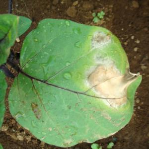 茄子の葉っぱが変だ! セルリー発芽 20日大根 インゲン