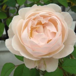バラが開花中! オクラ栽培! アイコ! トウモロコシ!