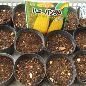 第2弾トウモロコシ種蒔き! キュウリ 夏一心ネギ 太ネギ イエローアイコ