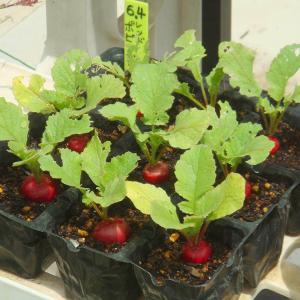 セルトレー栽培のレッドポピンズ! 秘伝豆の発芽! 第2弾トウモロコシ苗! あやめ雪収穫!