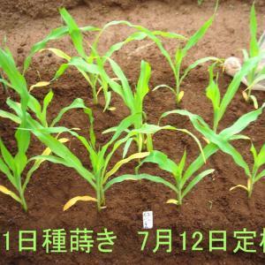 第2弾トウモロコシの定植!赤サンチュ苗!ピンクのネジバナ開花!アロイトマト!