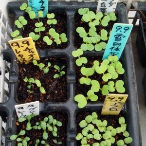 レタスなど発芽! 土寄せ! コガネムシの幼虫被害!