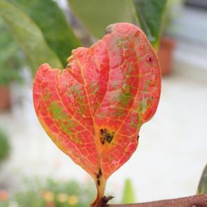 柿の紅葉と新芽! のらぼう菜 岩槻ネギ 白菜と大根と秘伝豆の様子!