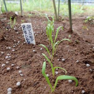 ほうれん草発芽! チャオチャオレタス定植!