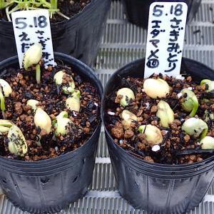 エダマメの発芽! ミツバとサラダ菜が発芽! 2番手ジャスティス定植! レタス植え替え!