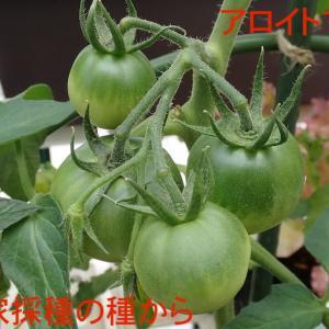 アロイトマト 世界一トマト オクラとエダマメの定植!!