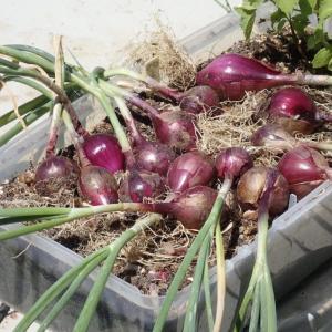 赤玉ネギの収穫! 「サクサク王子ネオ」初収穫! インゲンの種蒔き!