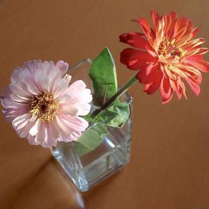 切り花の「百日草」! トマトの様子! 2番手「ジャスティス」収穫開始!