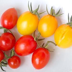ミニトマトと中長茄子の収穫! セロリが発芽した! トレビス結球始まる! ミディキュウリ! サラダミックス!