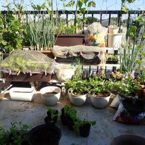 バルコ二ー菜園 が今から半年間は日陰になります!! ナスを終わらせた!
