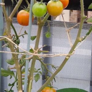 中玉トマトが赤くなっています! マンズナルインゲンが美味しいです! ミニ白菜の間引きをしました! タイガーメロン収穫!