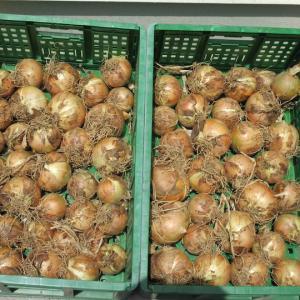 玉ねぎ & そら豆 などの収穫