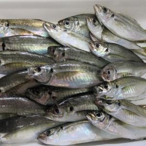 9月の釣果 アジ79匹、その他5匹