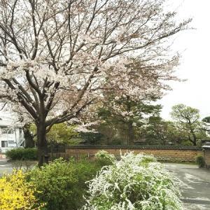 桜開花 令和 ですね
